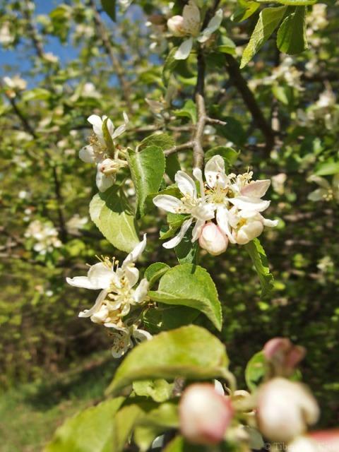 Ramuri cu flori de ciresh