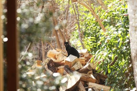 Sata, pisica neagra, pe lemenele taiate