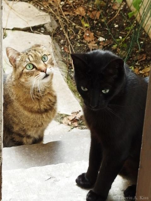 Pisici la masa