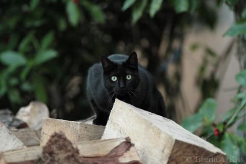 Sata, pisica neagra, cocotata pe lemnele taiate (IMG_2516)