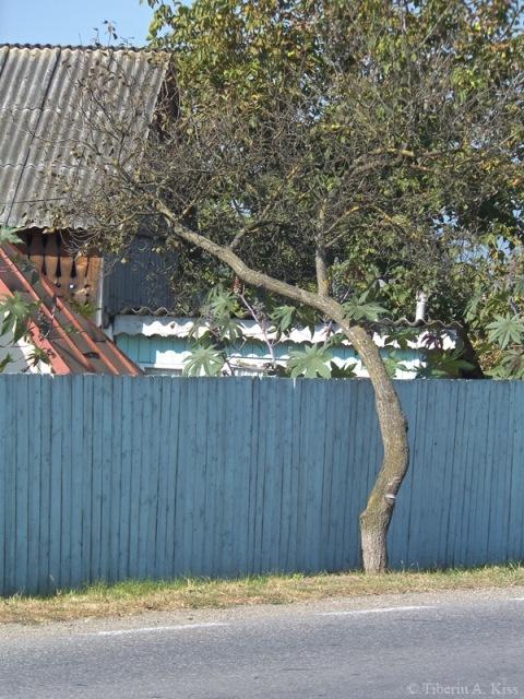 copac-crescut-peste-gard-DSCF5166