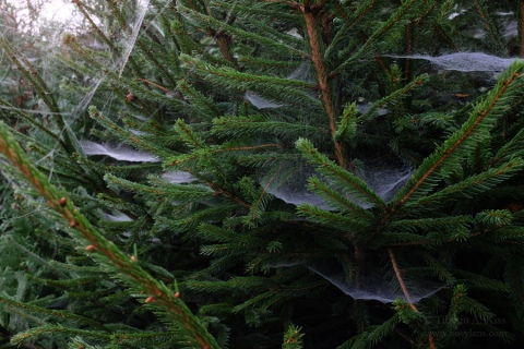 spider-nets-in-pinetree
