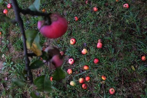falling-apple